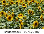 Sunflower flower on a meadow - stock photo