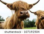 Hairy Cow Scottish Highland