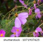 dainty soft pale  pink flowers... | Shutterstock . vector #1071937625