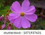 dainty soft pale  pink flowers... | Shutterstock . vector #1071937631