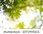 green leaf of japanese maple | Shutterstock . vector #1071945611