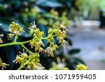 spring blooming lychee   nectar ... | Shutterstock . vector #1071959405