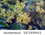 spring blooming lychee   nectar ... | Shutterstock . vector #1071959411