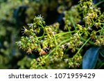 spring blooming lychee   nectar ... | Shutterstock . vector #1071959429