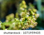 spring blooming lychee   nectar ... | Shutterstock . vector #1071959435