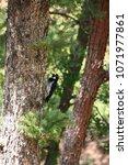 Ladderback Woodpecker In Woods