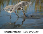 Small photo of Great Blue Heron capturing an American Eel at Huntington Wildlife Refuge, SC.