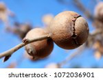 Small photo of Gall oak, Quercus infectoria tree, Aleppo oak or Manjakani galls closeup on blue sky background during winter