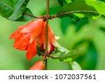 Punica Granatum  Pomegranate ...