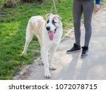 Stock photo caucasian shepherd on walk the girl holds the dog for leash 1072078715