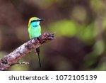 juvenile green bee eater or... | Shutterstock . vector #1072105139