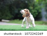 a cute tri color beagle stand... | Shutterstock . vector #1072242269