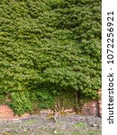 an ivy entwines on an old wall. | Shutterstock . vector #1072256921
