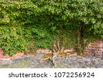 an ivy entwines on an old wall. | Shutterstock . vector #1072256924