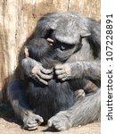 Chimpanzee        Ape. Mother...