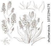 muscari   spring flowers ... | Shutterstock .eps vector #1072294175