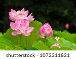 Lotus Flower.background Is The...