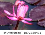 Nymphaea Pubescens  Red Water...