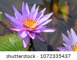 Water Lily  Nymphaea Ap.   ...