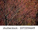 pink cherry blossom tree on... | Shutterstock . vector #1072354649