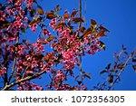 pink cherry blossom | Shutterstock . vector #1072356305