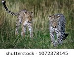 mother and son of leopard  wild ... | Shutterstock . vector #1072378145
