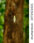 Small photo of Image of Spider Nephila Maculata, Gaint Long-jawed Orb-weaver in the net. Insect Animal