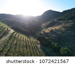 Vineyard Rows In The Mountains...