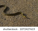 Small photo of Garter snake, garden snake, gardener snake, and ribbon snake are some of the common names for the nearly harmless, small to medium-sized snakes belonging to the genus Thamnophis.