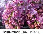 blossom of purple lilac  | Shutterstock . vector #1072443011