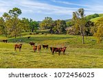 a herd of california brown cows. | Shutterstock . vector #1072456025