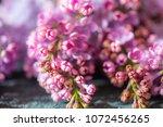 blossom of purple lilac  | Shutterstock . vector #1072456265