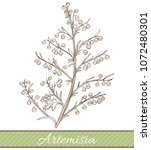 artemisia in hand drawn style....   Shutterstock .eps vector #1072480301