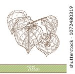 tilia in hand drawn style....   Shutterstock .eps vector #1072480319