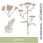 yarrow in hand drawn style....   Shutterstock .eps vector #1072480325