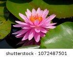 closeup pink lotus or pink...   Shutterstock . vector #1072487501