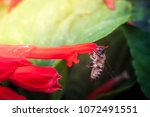 a bee collecting nectar from... | Shutterstock . vector #1072491551
