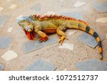 reddish colored green iguana ... | Shutterstock . vector #1072512737