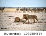 lion brothers and zebras  wild  ... | Shutterstock . vector #1072554599