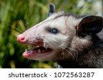 Virginia Opossum  Didelphis...