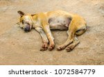 Small photo of My dog is orange-brown. Is sleeping happily. The dog orange-brown color