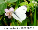 Small Cabbage White On Pink...