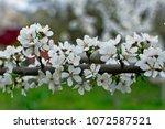 beautiful cherry tree branch... | Shutterstock . vector #1072587521