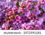 blossom of purple lilac  | Shutterstock . vector #1072591181