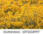 Yellow flowers, Carrizo Plain, California, USA - stock photo