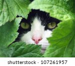 Stock photo black and white cat peeking through the undergrowth 107261957