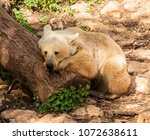 Small photo of A brown syrian bear taking a nap on a tree trunk