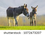 Grey cute baby donkey and...