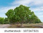 Mango Tree Full Of Mangoes In...