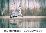 Beautiful Grey Heron Fishing O...